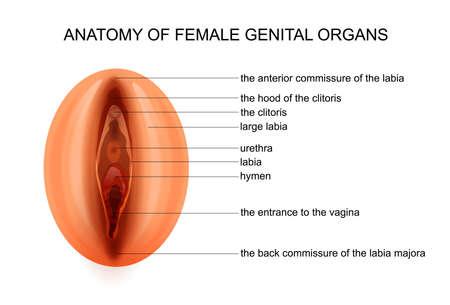 illustration vectorielle de l'anatomie des organes génitaux féminins Vecteurs