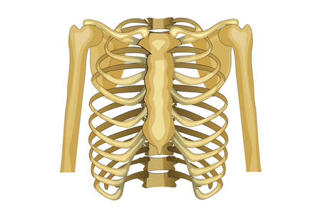 vector illustration of the chest, upper shoulder girdle. Illustration