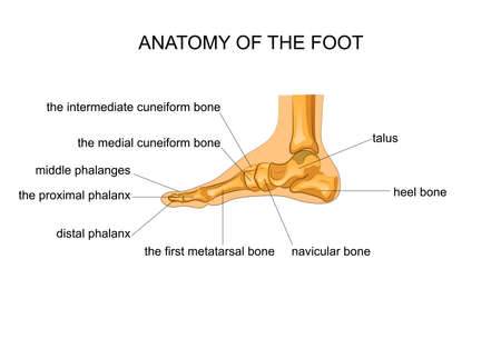 vector illustration of anatomy of the skeleton of the foot