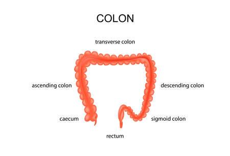 stoma: vector illustration of anatomy of the large intestine Illustration
