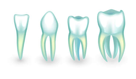 vector illustration of human teeth. incisor, canine and molars