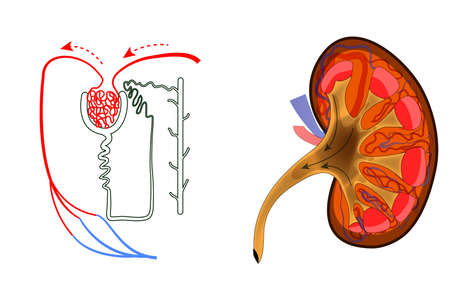nephron: Illustration of the structure of kidney and nephron.
