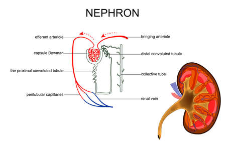Vector illustration of the structure of kidney and nephron Illustration