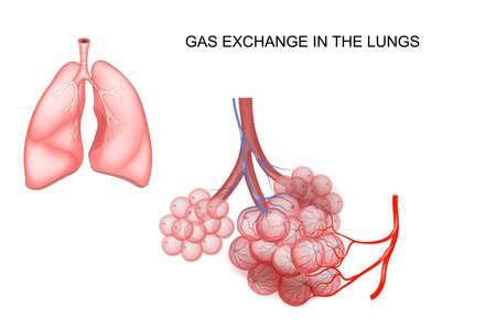 illustrazione vettoriale dello scambio di gas nei polmoni