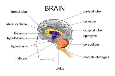 vector illustration of anatomy of the human brain
