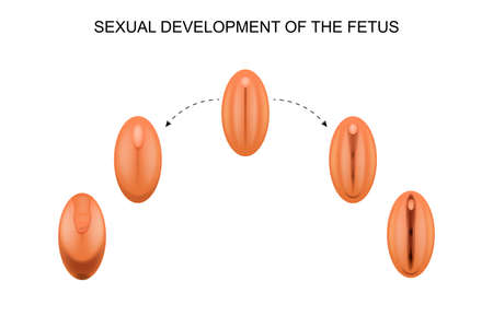 Vector illustration of sexual development of the fetus.