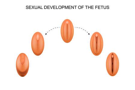 Vector illustratie van seksuele ontwikkeling van de foetus.