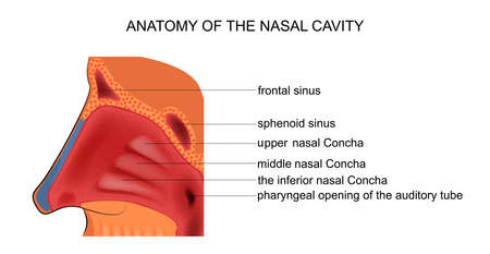 vector illustration of anatomy of the nasal cavity