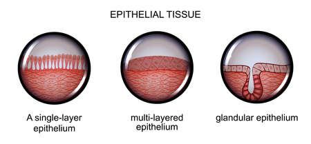 vector illustration of epithelial tissue. types of epithelium.
