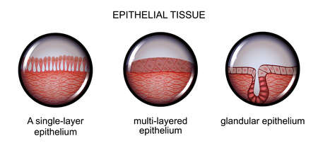 vector illustration of epithelial tissue. types of epithelium. Stock Vector - 89414291
