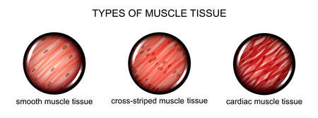 illustration of types of muscle tissue