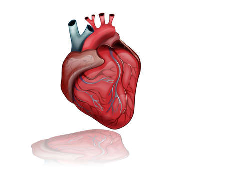 vector illustration of anatomy of the healthy human heart