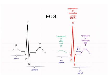 Illustration of ECG interpretation. ECG of a healthy person  イラスト・ベクター素材