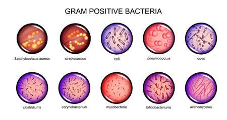 Vector illustration of gram-positive bacteria. microbiology. bacteriology. Vettoriali