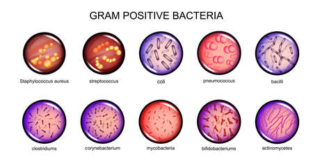 Vector illustration of gram-positive bacteria. microbiology. bacteriology. Stock Illustratie