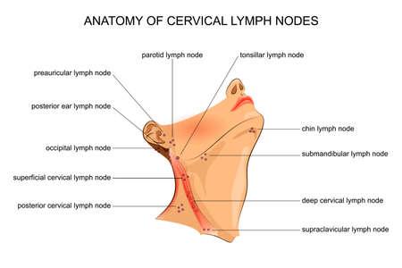 ilustracja wektorowa anatomii węzłów chłonnych szyjnych