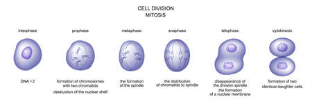 vector illustration of cell division. mitosis. biology 일러스트