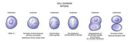 vector illustration of cell division. mitosis. biology Illustration