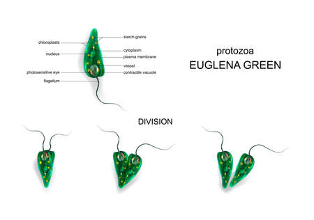 vector illustration of a Euglena green. protozoa 일러스트