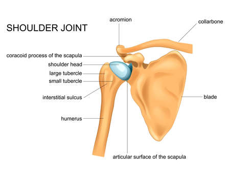 illustration vectorielle de l'anatomie de l'articulation de l'épaule. lame