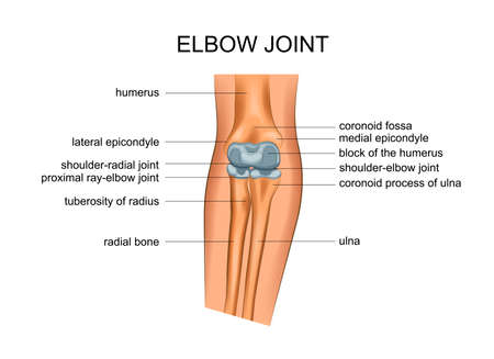 vector illustration of anatomy of the elbow joint Ilustração