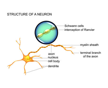 the structure of nerve cells