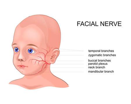 vector ilustración esquemática de la anatomía del nervio facial