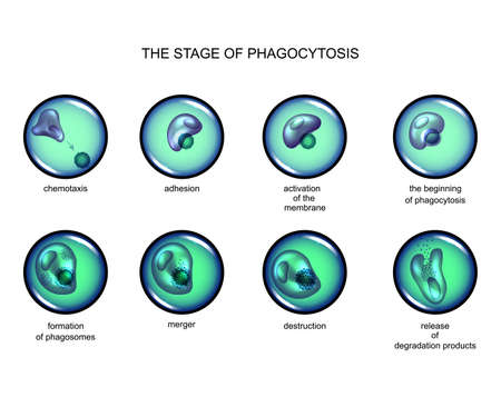 phagocytosis stage. leukocyte