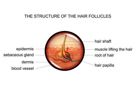 vector illustration of anatomy of hair follicles