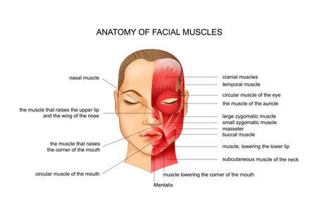 vector illustration of anatomy of the facial muscles. scheme