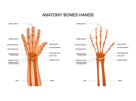 anatomy of hand bones 向量圖像