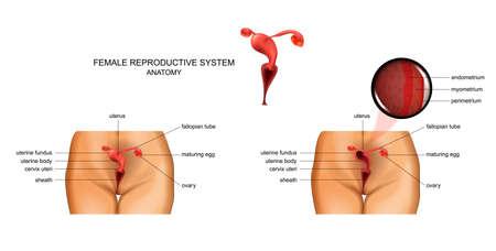 vector illustration of female reproductive organs. gynecology 矢量图像