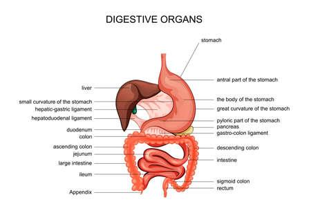 vector illustration of digestive organs. anatomy. gaster