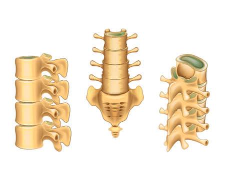 Ilustración de vector de vértebras lumbares y sacro