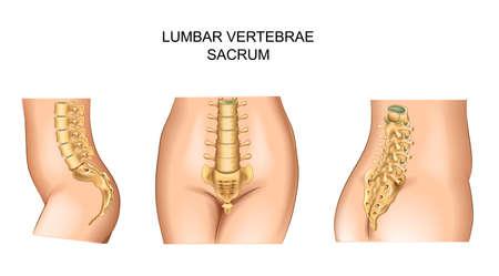 illustrazione vettoriale del sacro e della parte bassa della schiena Vettoriali