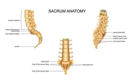 ilustración vectorial de la anatomía del sacro y las vértebras lumbares