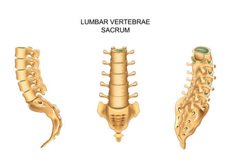vector illustration of sacrum and lumbar vertebrae in different positions Illustration