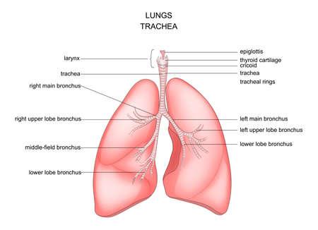 Ilustración vectorial de la anatomía de los pulmones, la tráquea y la laringe. Ilustración de vector