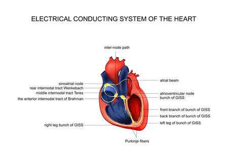 sistema de conducción eléctrica del corazón Ilustración de vector