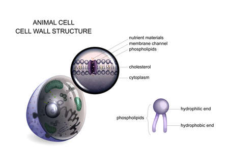 animal cell. cell wall structure