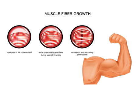 muscle fiber growth after training