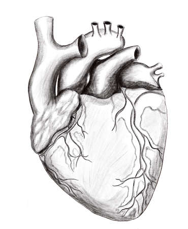 Illustration of the healthy human heart