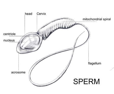 Illustration of the structure of the sperm cell 免版税图像