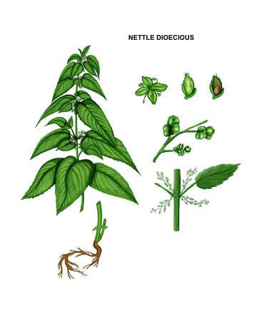 Illustration of nettle dioecious. Drug plant 免版税图像