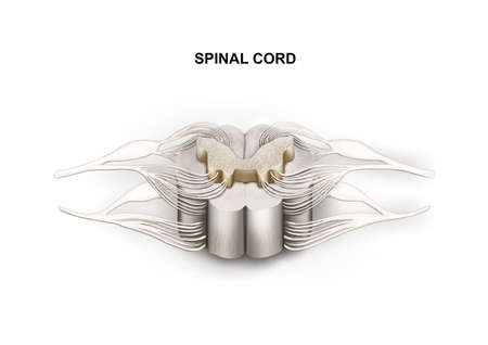 Illustration of the spinal cord