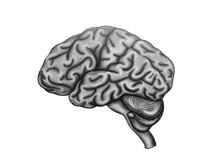 Illustration of the healthy human brain