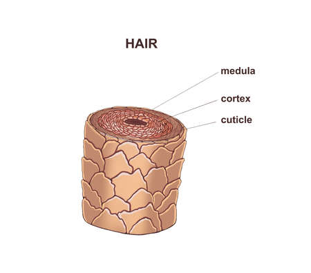 Illustration of the healthy hair. Structure