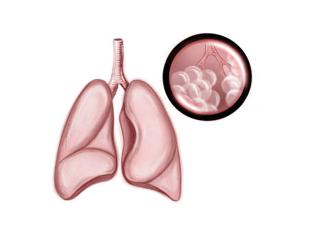 Illustration of the human healthy lungs