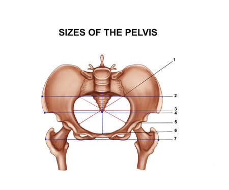Illustration of the sizes of the pelvis
