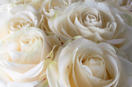 white delicate and beautiful roses, soft focus. Women's holiday. 8th march. Celebration. Gift to a woman.